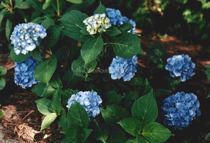 Mi,ombre. Sol riche et frais. Acidifier pour obtenir des fleurs bleus.  Hauteur 1.5 m. Largeur 1.5 m. Gélif, protéger l\u0027hiver. Ne pas rabattre au  sol.