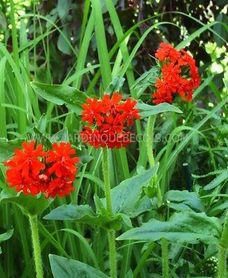 Vivaces - Fleurs vivaces longue floraison ...